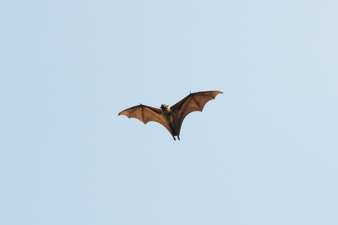 Sri Lanka fruit bat